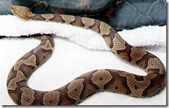 copperhead%20snake
